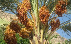 فروش خرمای شاهانی بوشهر جهت صادرات